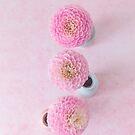 Pastel pink pom pom dahlias by Zoe Power