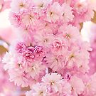 Pastel pink cherry blossom by Zoe Power