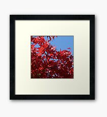 Japanesse Maple Leaves  Framed Print