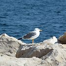 Seagull by Fay  Hughes