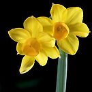 Jonquils and bud by David  Hibberd