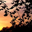 Maple Sunset by Brian Gaynor