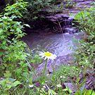 waterfall daisy by Sandra Hopko