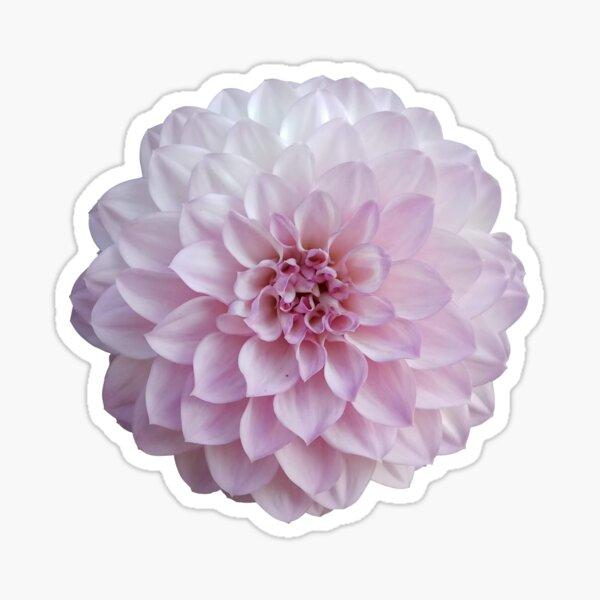 Pink dahlia Sticker