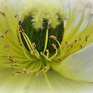 Soft Dreamy Poppy by MissyD