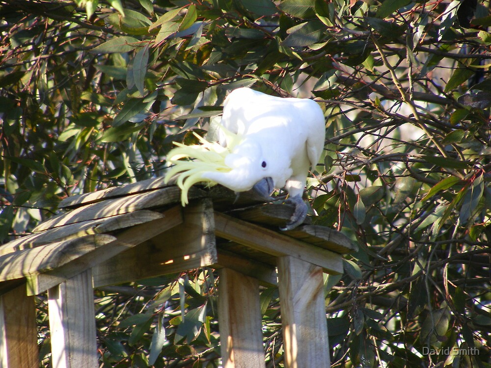 A cockatoo thief checking out the feed table by David Smith