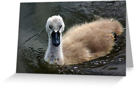 Young Cygnet by Trevor Kersley