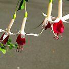Fuchsias, Red & White by Bev Pascoe