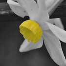 Dwarf Daffodil In Selective Colour  by MissyD
