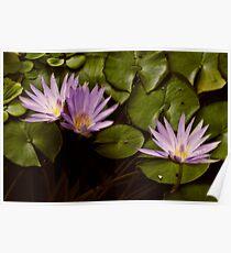 Lotus Blooms Poster