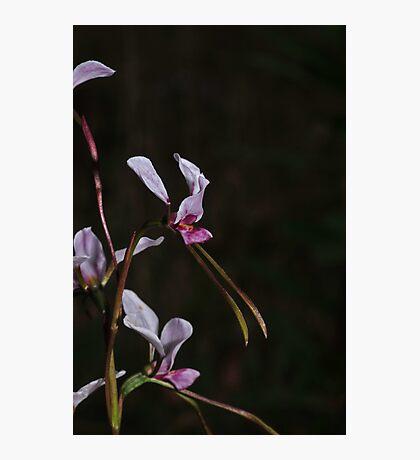Diuris arenaria Photographic Print
