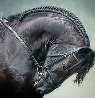 Graceful Black Horse: Friesian by isabelleann