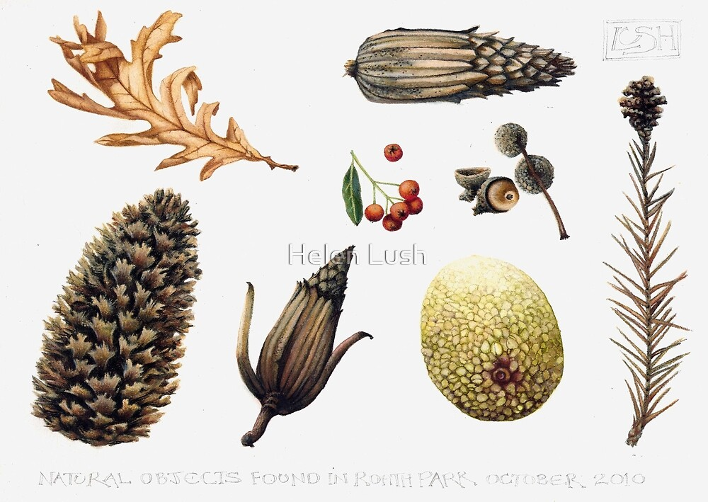 Quot natural objects autumn leaves fir cones and fruit quot by helen lush redbubble
