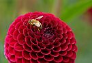 Busy on a Zinnia by Dawne Olson