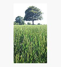Green Wheat Field in Summer Photographic Print