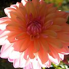Dahlia in Bloom by Jeri Garner