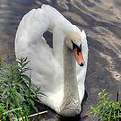 Beautiful Swan by Monica M. Scanlan