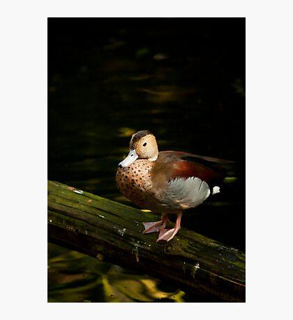 Vibrant Duck Photographic Print