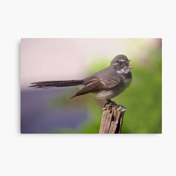 FANTAIL ~ Grey Fantail UPws5FqN by David Irwin Metal Print