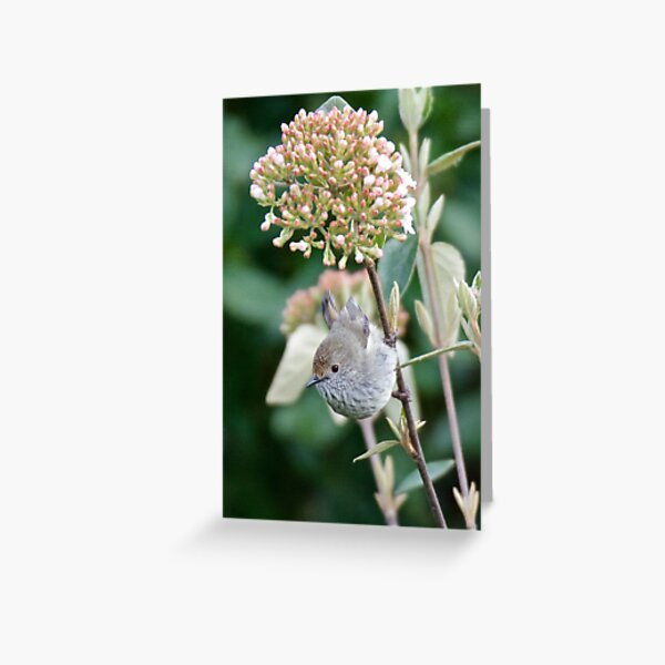 THORNBILL ~ Brown Thornbill by David Irwin ~ WO Greeting Card