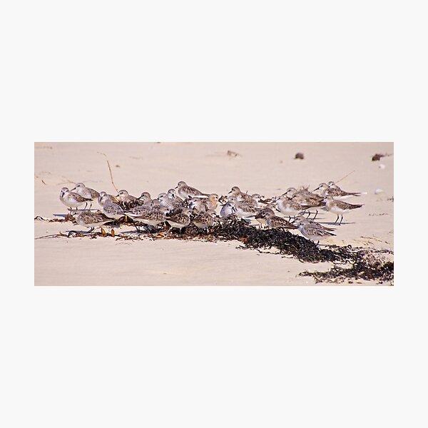 SHOREBIRD ~ Stint by David Irwin Photographic Print