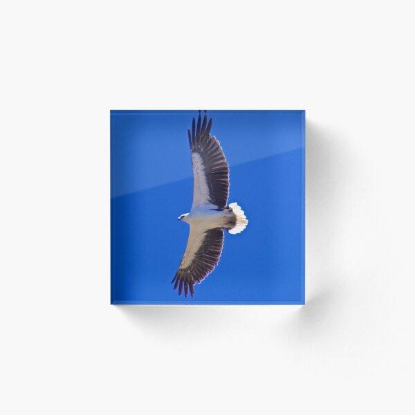 RAPTOR ~ White-bellied Sea-Eagle by David Irwin ~ WO Acrylic Block