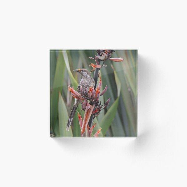 HONEYEATER ~ Little Wattlebird by David Irwin Acrylic Block