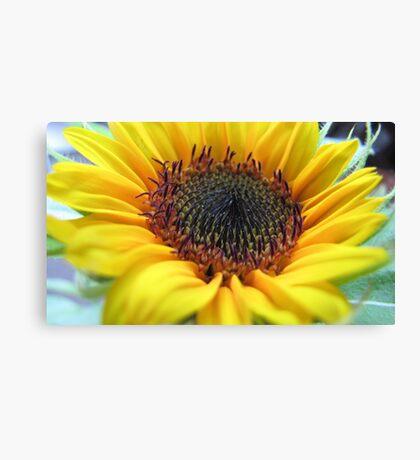 Sunflower in full bloom Canvas Print