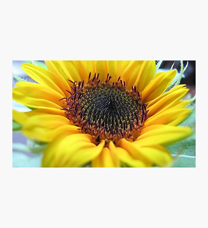 Sunflower in full bloom Photographic Print