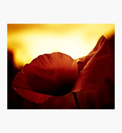 Golden Glow Poppie Photographic Print