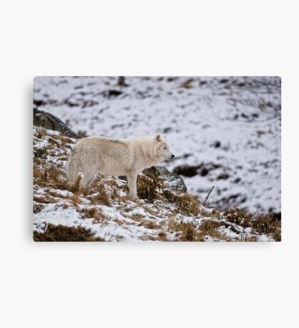 Arctic Wolf on Hill Canvas Print