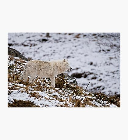 Arctic Wolf on Hill Photographic Print
