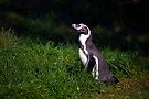 Humbolt Penguin by Stuart Robertson Reynolds