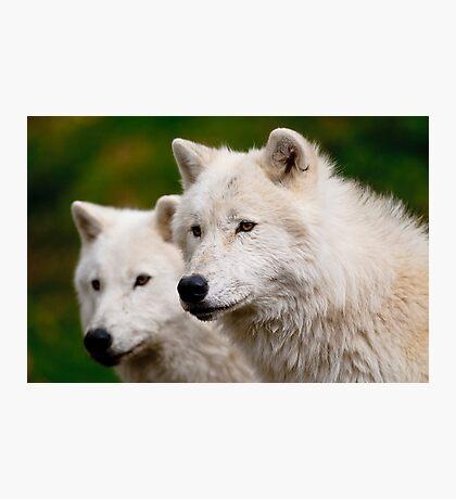 Arctic Wolf Pair Photographic Print