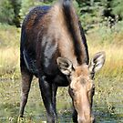 Moose Cow in Algonquin Park by Bertspix1
