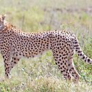 On the Lookout, Serengeti Cheetah, Tanzania, Africa by Adrian Paul
