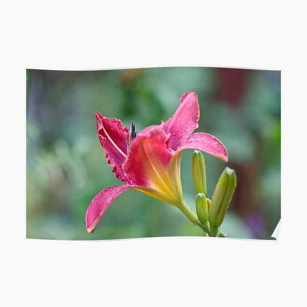 Lily pink Poster