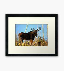 Fall Bull Moose  Framed Print