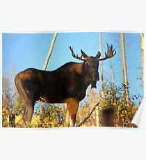 Fall Bull Moose  Poster