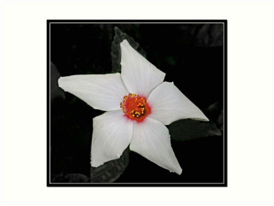 White Hibiscus by Chet  King