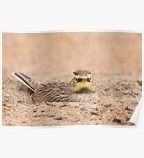Horned Lark hiding from predators Poster