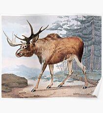 Bull Moose Vintage Drawing Poster