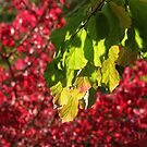 Red and Green Leaves by John Dalkin