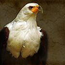 African Fish Eagle  by Andrew S