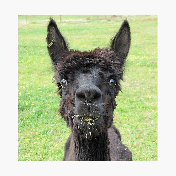 Alpaca Photographic Print