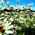 Daisies by Brian Damage