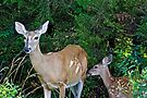 Whitetail Deer Doe and Fawn by MotherNature