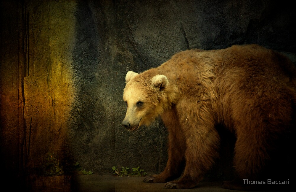 The Brown Bear by TJ Baccari Photography