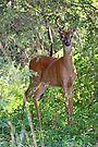 Whitetail Deer Buck in Velvet - 6 Pointer by MotherNature