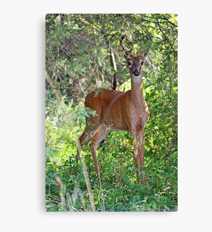 Whitetail Deer Buck in Velvet - 6 Pointer Canvas Print